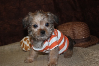 Smoochy Male CKC Shorkie Ready March 9th $1500 SOLD!