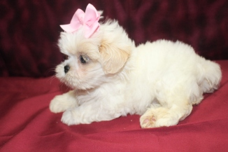 Sold Blondie White With Cream Imperial Ckc Shih Tzu Adult Estimated