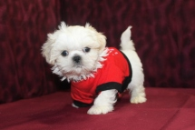 Casper Male CKC Imperial Shih Tzu $1500 SOLD
