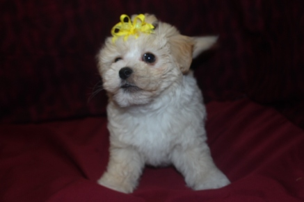 Lizzy Female CKC Maltese Ready March 6th $1250 SOLD!