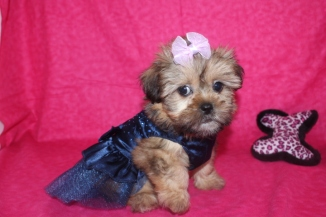 Babyface Female CKC Shorkie March 9th $1500 SOLD!