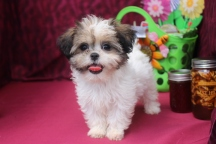 Bailey Female CKC Shihpoo Ready March 5th $1500 SOLD!