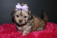 Little Darling Female CKC Shorkie Ready March 9th $1500 AVAILABLE!