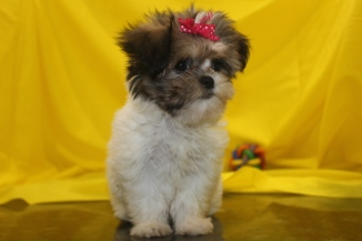Bailey Female CKC Shihpoo Ready March 5th $1500 HAS DEPOSIT