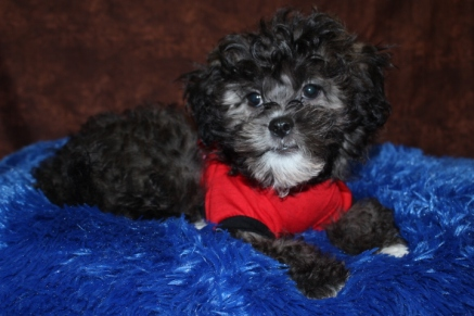 Gasper Male CKC Malshipoo Ready in 4/6 $1500 SOLD