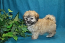 Gayla Male CKC Malshipoo Ready in 4/6 $1500 SOLD!