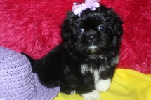 Sissy Female CKC Imperial Shih Tzu Ready on Feb 26th $1500 SOLD!