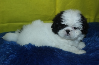 Sammy Malle Imperial CKC Shih Tzu Ready Feb 26th $1500 SOLD!