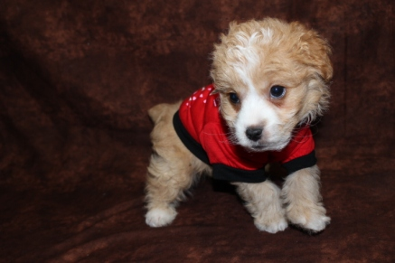 Coby Male CKC Morkipoo Ready MaY 13TH $1500 SOLD