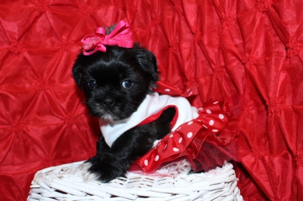 Gidget Female CKC Shorkipoo Ready May 18th $1500 AVAILABLE