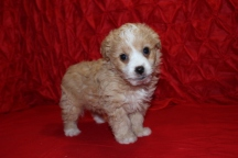 Coby Male CKC Morkipoo Sold
