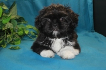 Sparky Male Imperial CKC Shih Tzu $1500 Ready 2/25 SOLD!