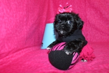 Gracie Female CKC Shorkipoo Ready May 18th $1500 SOLD