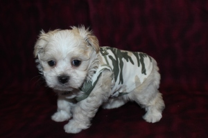 Biscuit Male CKC Maltipoo Ready May 21st $1500 HAS DEPOSIT