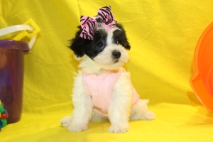 Dixie Female CKC  Maltipoo $1500 Ready 6/9  SOLD!