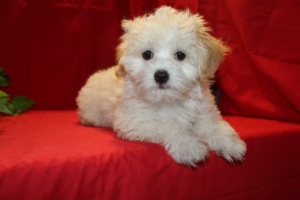 Dominic Male CKC Maltipoo  Ready June 9th $1500  SOLD