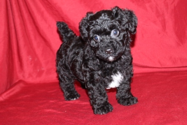 Gilligan Male CKC Morkipoo Sold
