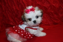Gold Nugget Female Imperial CKC Shih Tzu Ready April 28th $1500 SOLD