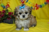 Jackpot Female Imperial CKC Shih Tzu $1500 Ready 4/28 $1500 HAS DEPOSIT