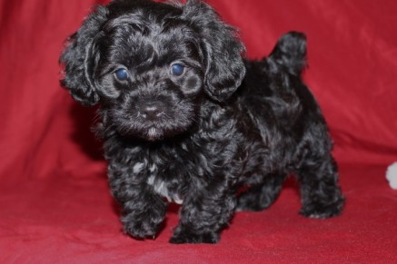 Skipper Make CKC Morkipoo Ready May 26th $1500SOLD!