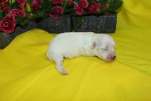 Dynamite Male CKC Maltipoo $1500 Ready 6/9  AVAILABLE!