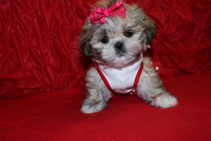 Jackpot Female Imperial CKC Shih Tzu $1500 Ready 4/28 $1500 SOLD