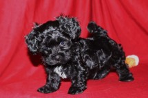 Professor Male CKC Morkipoo Sold