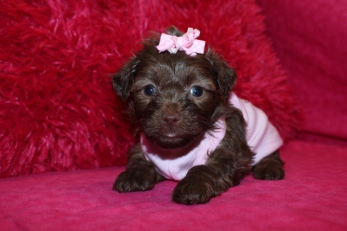 Mocha Female CKC Shorkipoo Ready May 27th $1750.00 HAS DEPOSIT!