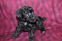 Thuston Howell Male CKC Morkipoo Ready May 26th $1500 SOLD
