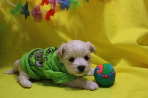 Nibbles Male CKC Maltioo with Tail Ready May 21st $1500 HAS DEPOSIT!