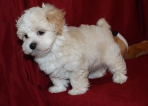 Biscuit Male CKC Maltipoo Ready May 21st $1500 HAS DEPOSIT!