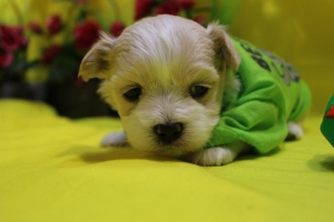Biscuit Male CKC Maltipoo Ready May 21st $1500 AVAILABLE