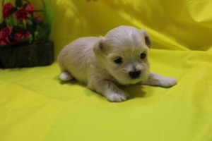 Jammer Male CKC Maltipoo Ready May 21st $1500 HAS DEPOSIT