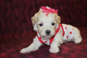 Dixie Female CKC  Maltipoo $1500 Ready 6/9 Just became Available