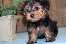Dallas Male CKC Morkipoo $1500 Ready June 16th HAS DEPOSIT!
