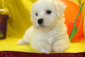 Dynamite Male CKC Maltipoo Ready June 9th $1500  HAS DEPOSIT!