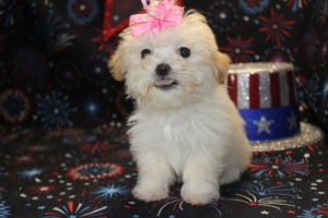 Jazzy  Female CKC  Maltipoo $1500 Ready 6/9  SOLD!