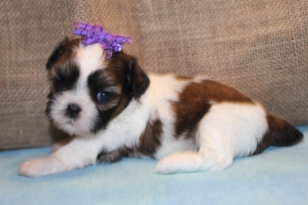 Bella Female CKC Malshipoo $1750 Ready 7/12 HAS DEPOSIT