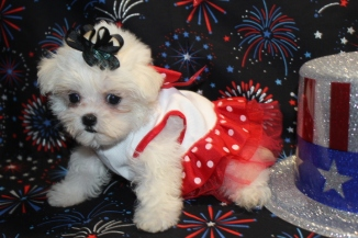Blondie Female CKC Malshipoo $1500 Ready 7/2 SOLD