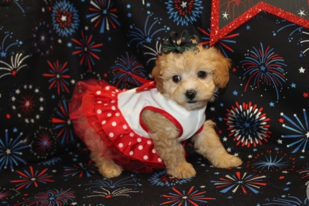 Winnie Female CKC Shihpoo $1750 Ready 7/3 SOLD