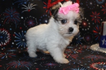 Destiny Female CKC Shorkie $1500 Ready 7/18 SOLD