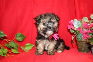 PIPPY Female CKC Havanese Ready 7/11 $1800 SOLD