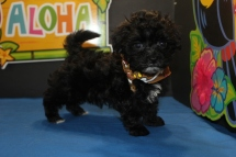 Davey Male CKC Shorkie $1500 Ready 7/18 SOLD