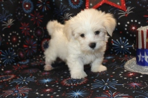 Ruger Male CKC Havanese $1800 READY 7/2 SOLD