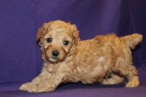 Wonko Male CKC Shihpoo $1750 Ready 7/3 HAS DEPOSIT!
