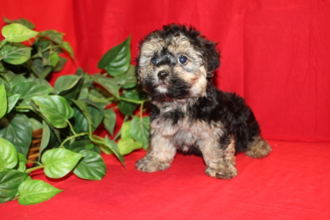 PIPER Male CKC Havanese Ready 7/11 $1800 AVAILABLE