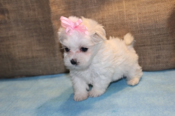 Opal Female CKC Malshipoo $1500 Ready 7/2 HAS DEPOSIT!
