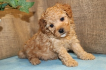 Wonko Male CKC Shihpoo $1750 Ready 7/3 AVAILABLE