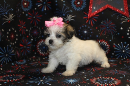 Desieree Female CKC Shorkie $1500 Ready 7/18 HAS DEPOSIT!
