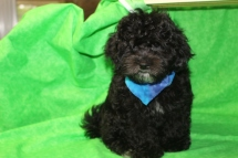 Wolly Male CKC Shihpoo $1500special now $1250 with all shots including rabies SOLD